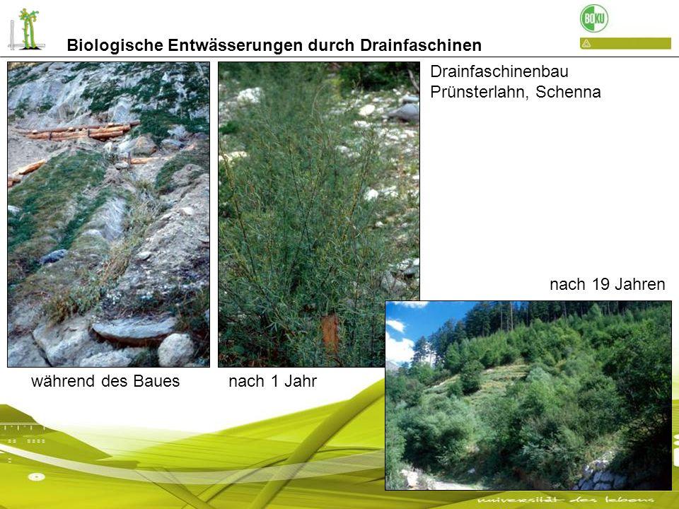 Drainfaschinenbau Prünsterlahn, Schenna nach 1 Jahrwährend des Baues nach 19 Jahren Biologische Entwässerungen durch Drainfaschinen