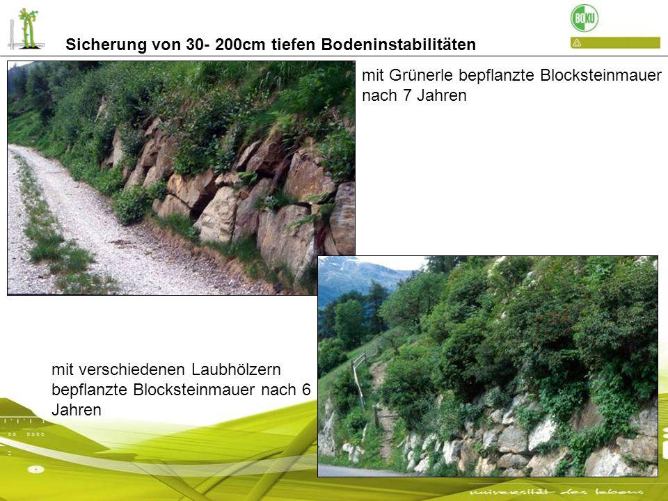 Sicherung von 30- 200cm tiefen Bodeninstabilitäten mit Grünerle bepflanzte Blocksteinmauer nach 7 Jahren mit verschiedenen Laubhölzern bepflanzte Bloc