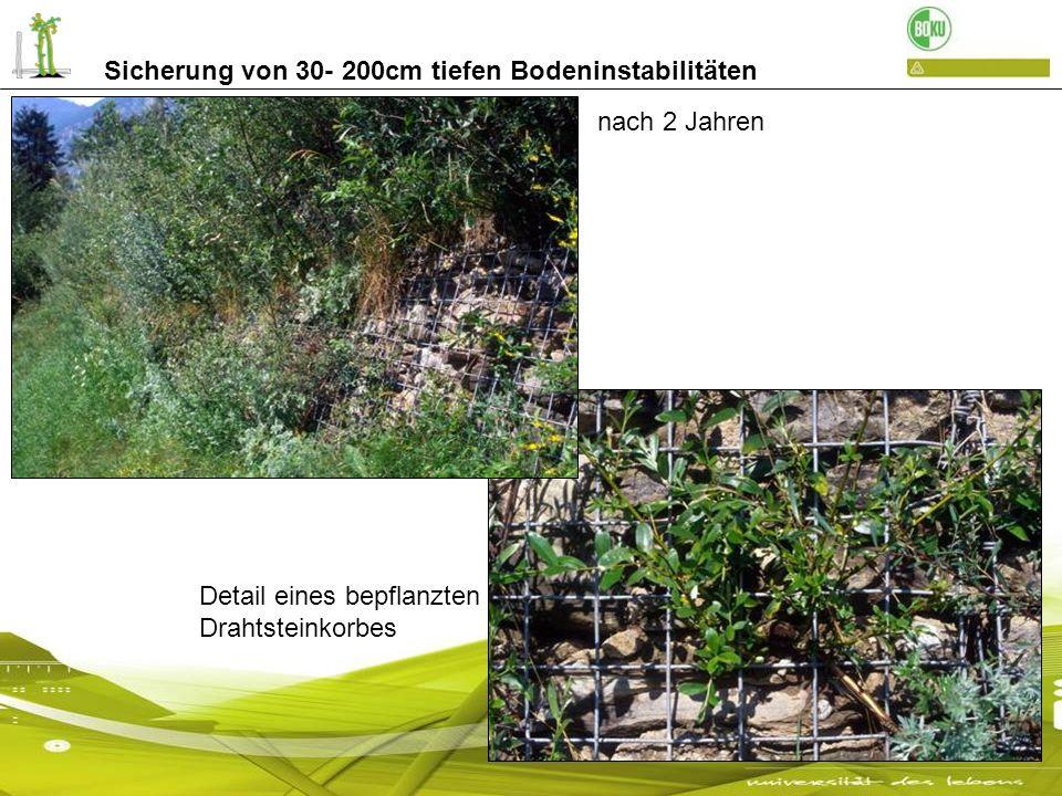 Sicherung von 30- 200cm tiefen Bodeninstabilitäten Detail eines bepflanzten Drahtsteinkorbes nach 2 Jahren