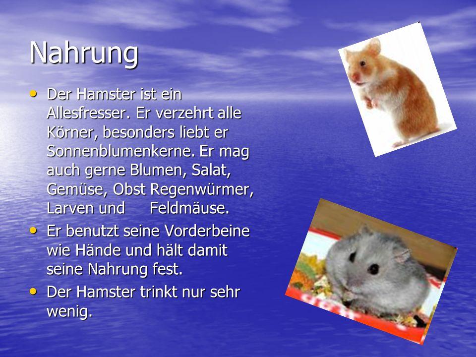 Das Aussehen Der Hamster ist ein sehr kleines Tier von etwa 20 cm Länge. Er wiegt ungefähr 30 dag. Das Fell ist goldbraun und am Bauch weiß oder dunke