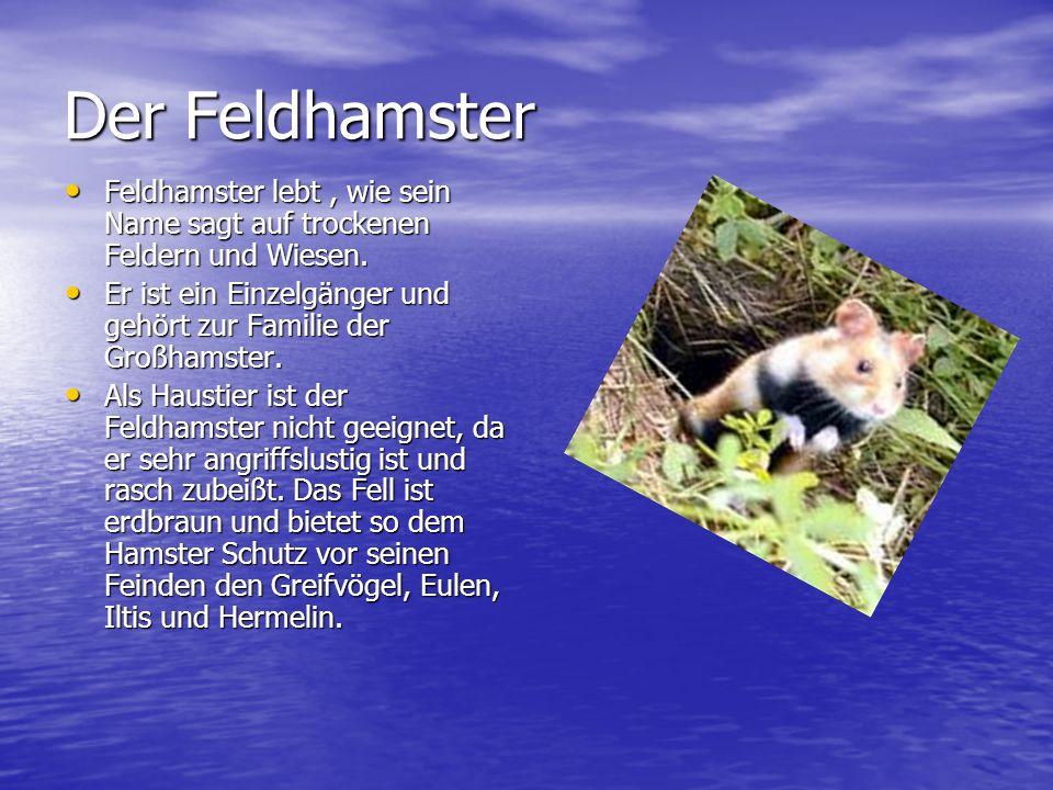 Der Feldhamster Feldhamster lebt, wie sein Name sagt auf trockenen Feldern und Wiesen.