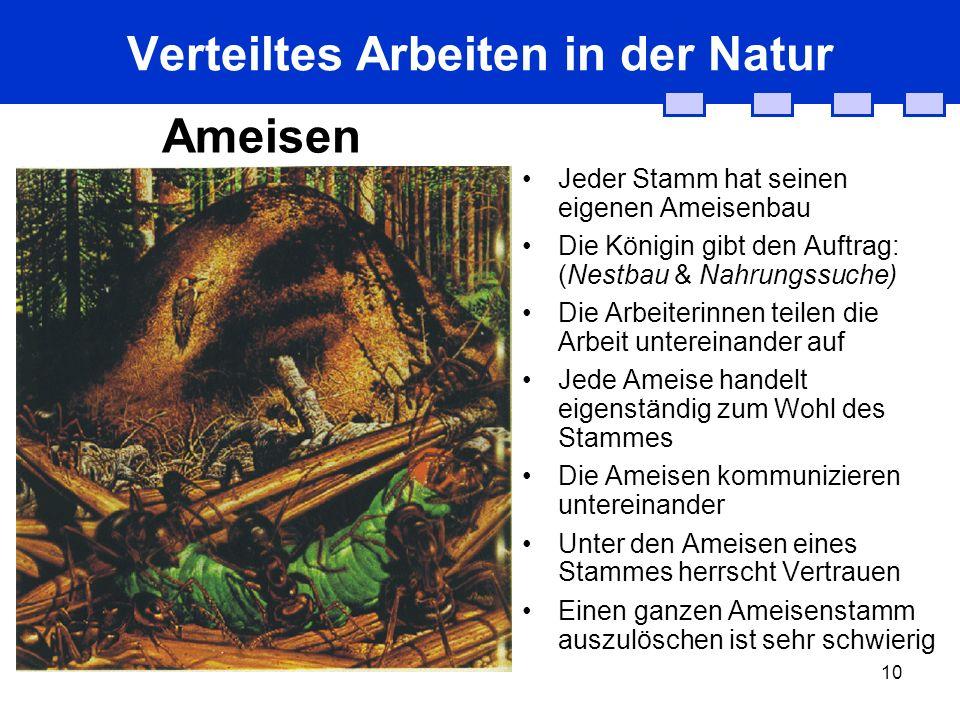 Verteiltes Arbeiten in der Natur Ameisen Jeder Stamm hat seinen eigenen Ameisenbau Die Königin gibt den Auftrag: (Nestbau & Nahrungssuche) Die Arbeite