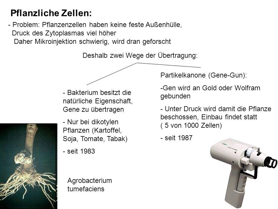 Agrobacterium tumefaciens Pflanzliche Zellen: - Problem: Pflanzenzellen haben keine feste Außenhülle, Druck des Zytoplasmas viel höher Daher Mikroinje