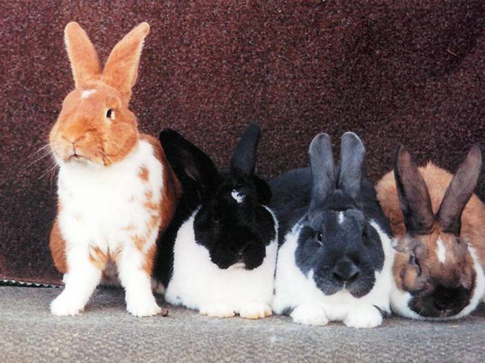 KV-Schulung vom 17.10.2010 Das Englische Schecken Kaninchen