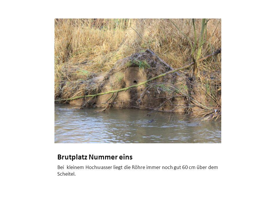 Brutplatz Nummer eins Bei kleinem Hochwasser liegt die Röhre immer noch gut 60 cm über dem Scheitel.