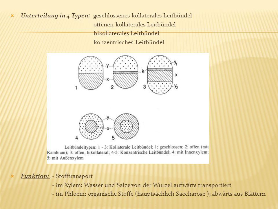 Unterteilung in 4 Typen: geschlossenes kollaterales Leitbündel offenen kollaterales Leitbündel bikollaterales Leitbündel konzentrisches Leitbündel Fun