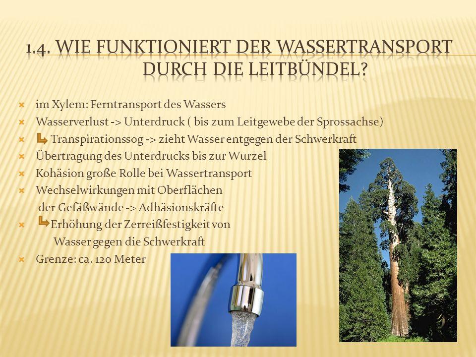 im Xylem: Ferntransport des Wassers Wasserverlust -> Unterdruck ( bis zum Leitgewebe der Sprossachse) Transpirationssog -> zieht Wasser entgegen der S