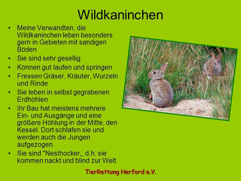Wildkaninchen Meine Verwandten, die Wildkaninchen leben besonders gern in Gebieten mit sandigen Böden Sie sind sehr gesellig Können gut laufen und spr