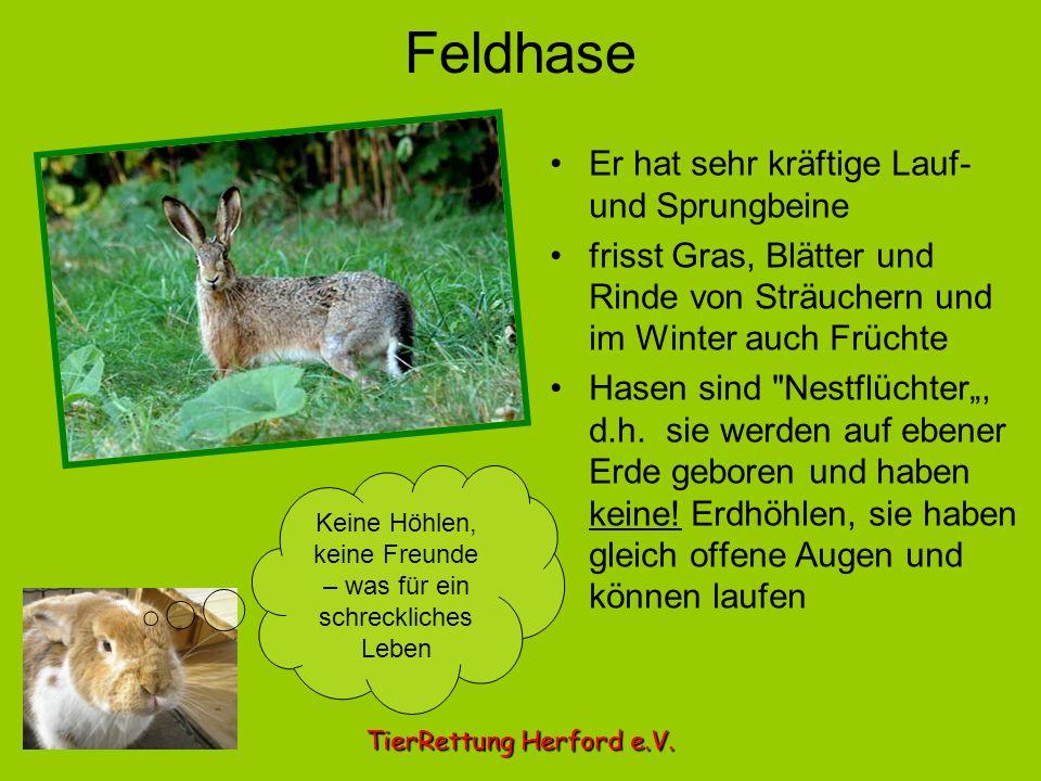 Feldhase Er hat sehr kräftige Lauf- und Sprungbeine frisst Gras, Blätter und Rinde von Sträuchern und im Winter auch Früchte Hasen sind