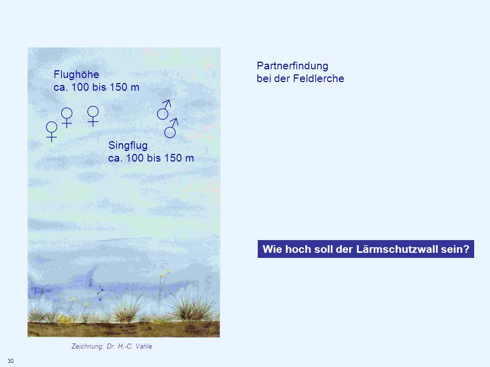 Partnerfindung bei der Feldlerche Flughöhe ca. 100 bis 150 m Singflug ca. 100 bis 150 m Wie hoch soll der Lärmschutzwall sein? 30 Zeichnung: Dr. H.-C.