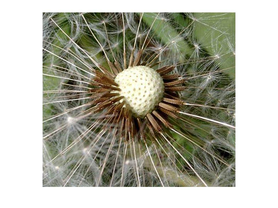 Wie andere Pflanzen auch ist der Löwenzahn ein Symbol der Vergänglichkeit…. Die Entwicklung von der Knospe über die Blüte bis zum verblühten Zustand h