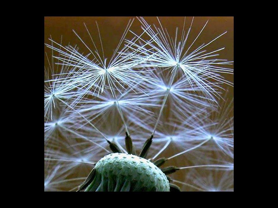 Pusteblume Jedes Schirmchen ein Wunsch, fliegend im Sommerwind, auf der Suche nach dem richtigen Ort. Kleiner Same keimt, schlägt Wurzeln, treibt aus