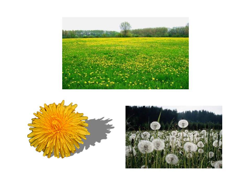 Als baldt solche Blumen zeitigen, werden härige, runde und vollechte Knöpff darauss, die fliegen sehr bald darvon, das ist der Same.