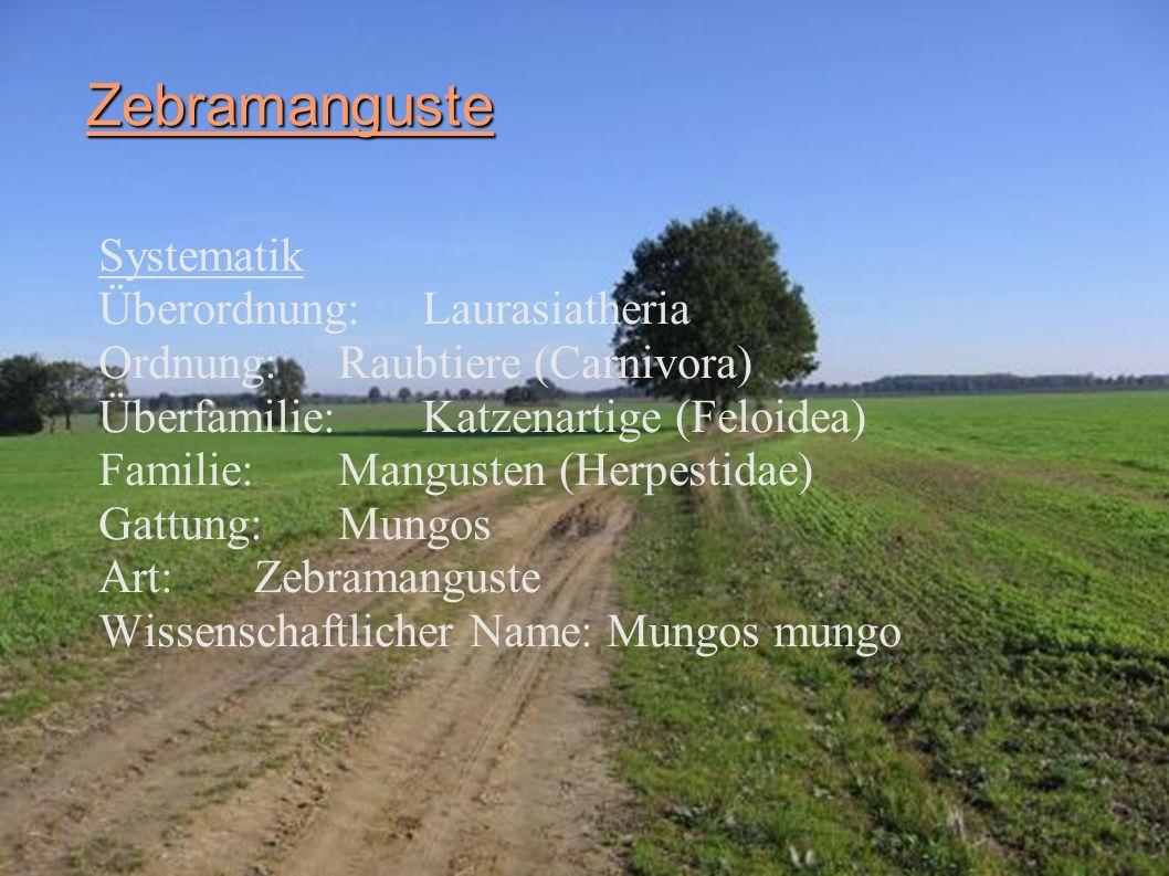 Zebramanguste Systematik Überordnung: Laurasiatheria Ordnung: Raubtiere (Carnivora) Überfamilie: Katzenartige (Feloidea) Familie: Mangusten (Herpestid