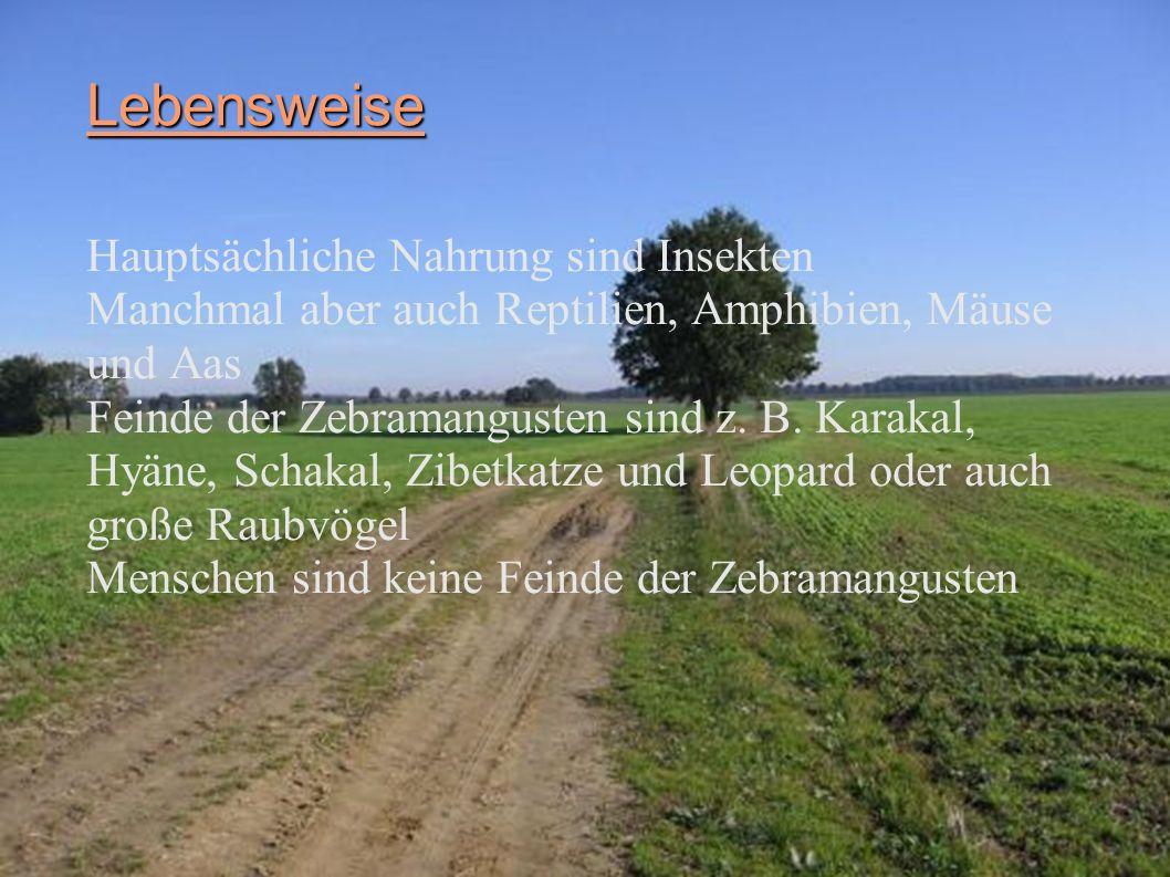 Zebramanguste Systematik Überordnung: Laurasiatheria Ordnung: Raubtiere (Carnivora) Überfamilie: Katzenartige (Feloidea) Familie: Mangusten (Herpestidae) Gattung: Mungos Art: Zebramanguste Wissenschaftlicher Name: Mungos mungo