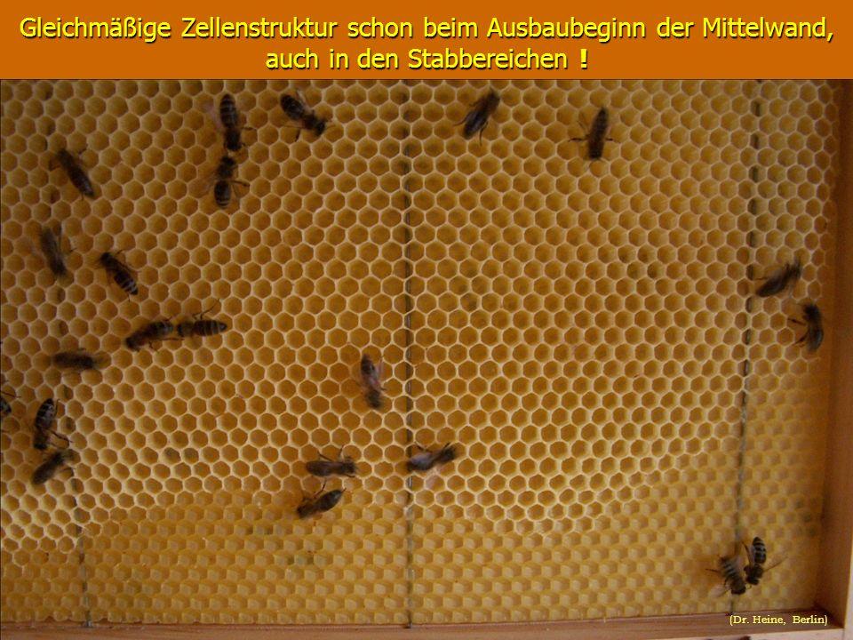 Gleichmäßige Zellenstruktur schon beim Ausbaubeginn der Mittelwand, auch in den Stabbereichen ! (Dr. Heine, Berlin)