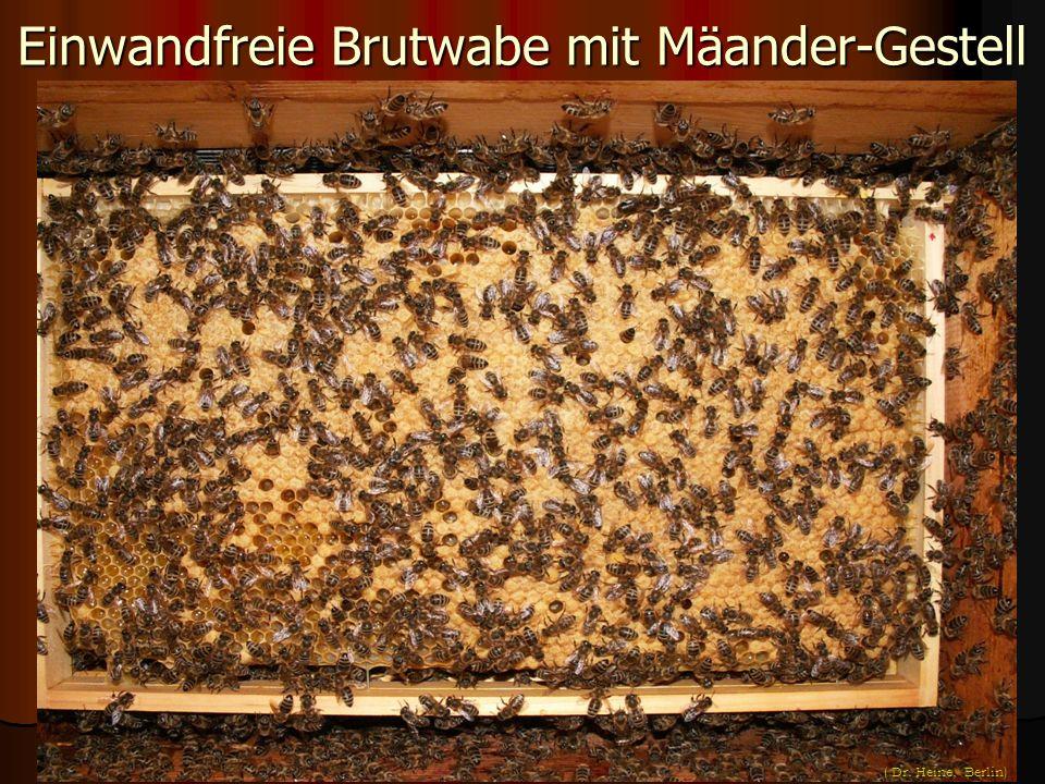 Einwandfreie Brutwabe mit Mäander-Gestell ( Dr. Heine, Berlin)