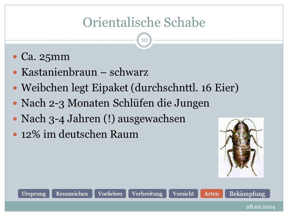 Orientalische Schabe 28.02.2014 10 Ca.