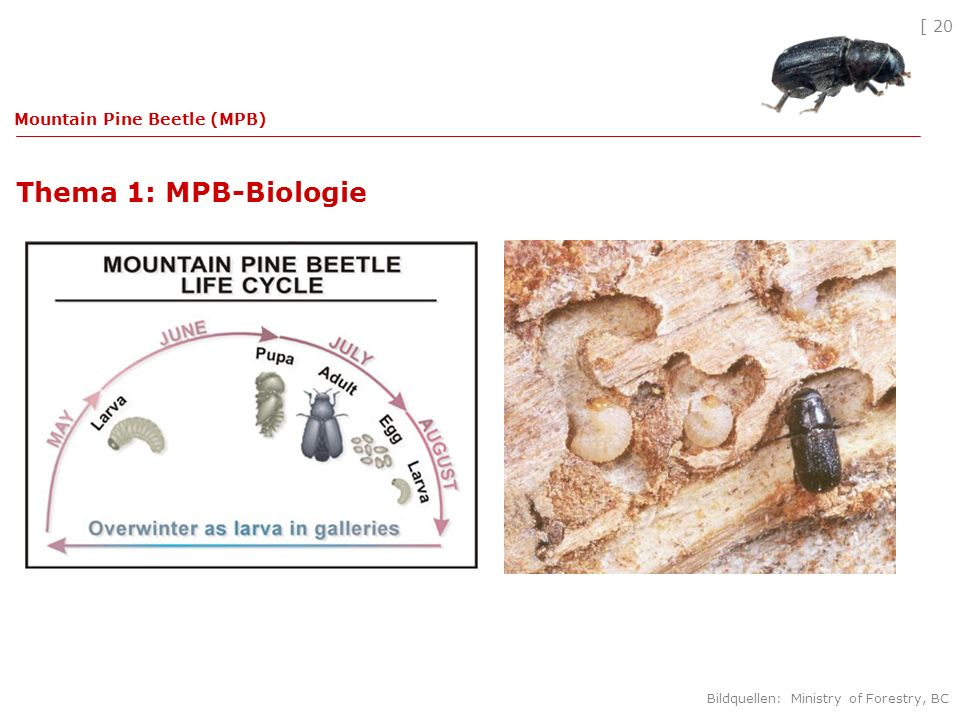 [ 20 Thema 1: MPB-Biologie Mountain Pine Beetle (MPB) Bildquellen: Ministry of Forestry, BC