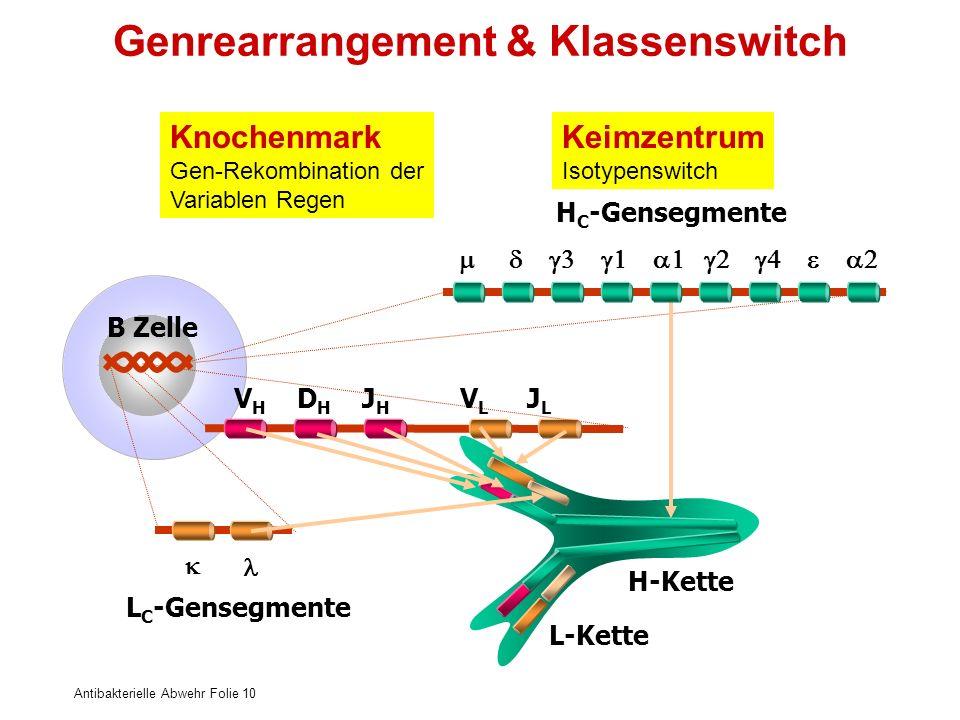 Antibakterielle Abwehr Folie 10 H-Kette L-Kette B Zelle V H D H J H V L J L Genrearrangement & Klassenswitch H C -Gensegmente L C -Gensegmente Knochen