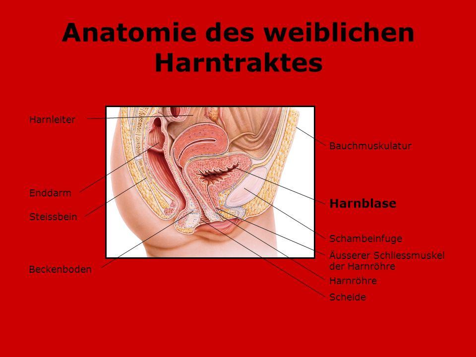 Anatomie des weiblichen Harntraktes Steissbein Bauchmuskulatur Harnblase Schambeinfuge Äusserer Schliessmuskel der Harnröhre Harnröhre Scheide Harnlei