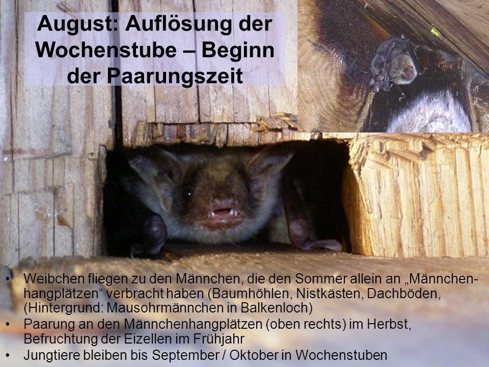 August: Auflösung der Wochenstube – Beginn der Paarungszeit Weibchen fliegen zu den Männchen, die den Sommer allein an Männchen- hangplätzen verbracht
