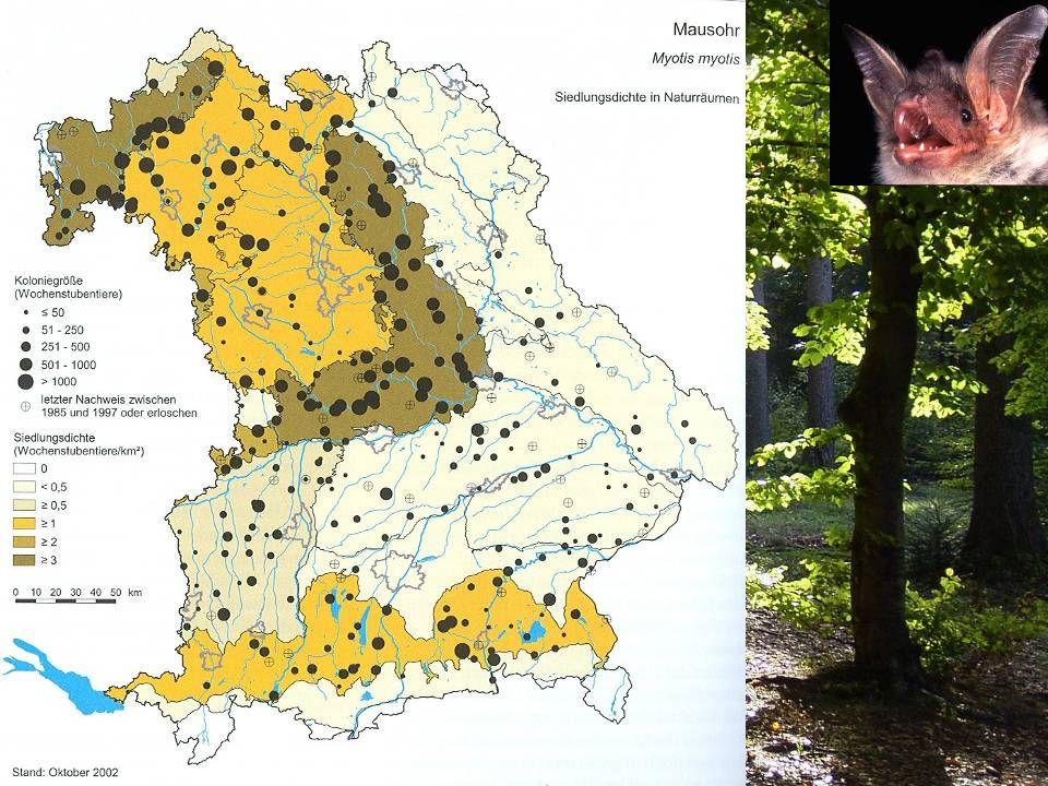 über 10 km weite Jagdflüge Jagdlebensraum: wichtigstes Jagdgebiet: Wälder mit offenem Waldboden (Bodenjagd, Laufkäfer) Warum ist das Mausohr eine Wald