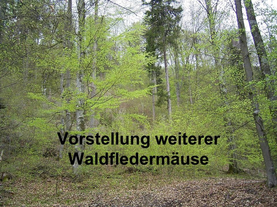 Vorstellung weiterer Waldfledermäuse