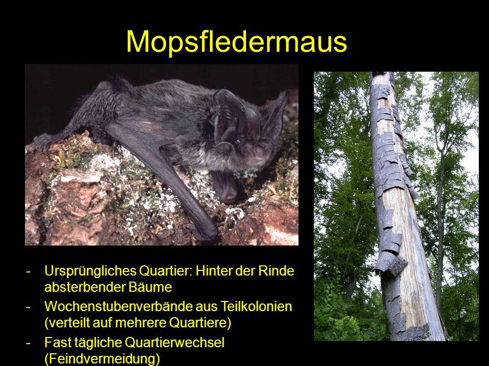 Mopsfledermaus -Ursprüngliches Quartier: Hinter der Rinde absterbender Bäume -Wochenstubenverbände aus Teilkolonien (verteilt auf mehrere Quartiere) -