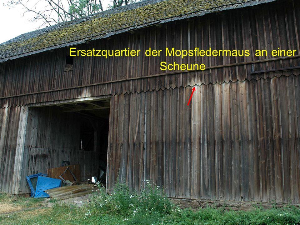 Ersatzquartier der Mopsfledermaus an einer Scheune