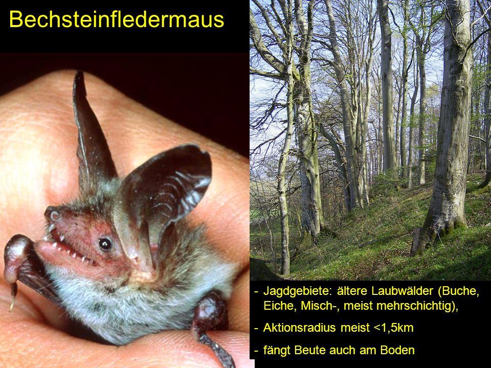 Bechsteinfledermaus -Jagdgebiete: ältere Laubwälder (Buche, Eiche, Misch-, meist mehrschichtig), -Aktionsradius meist <1,5km -fängt Beute auch am Bode