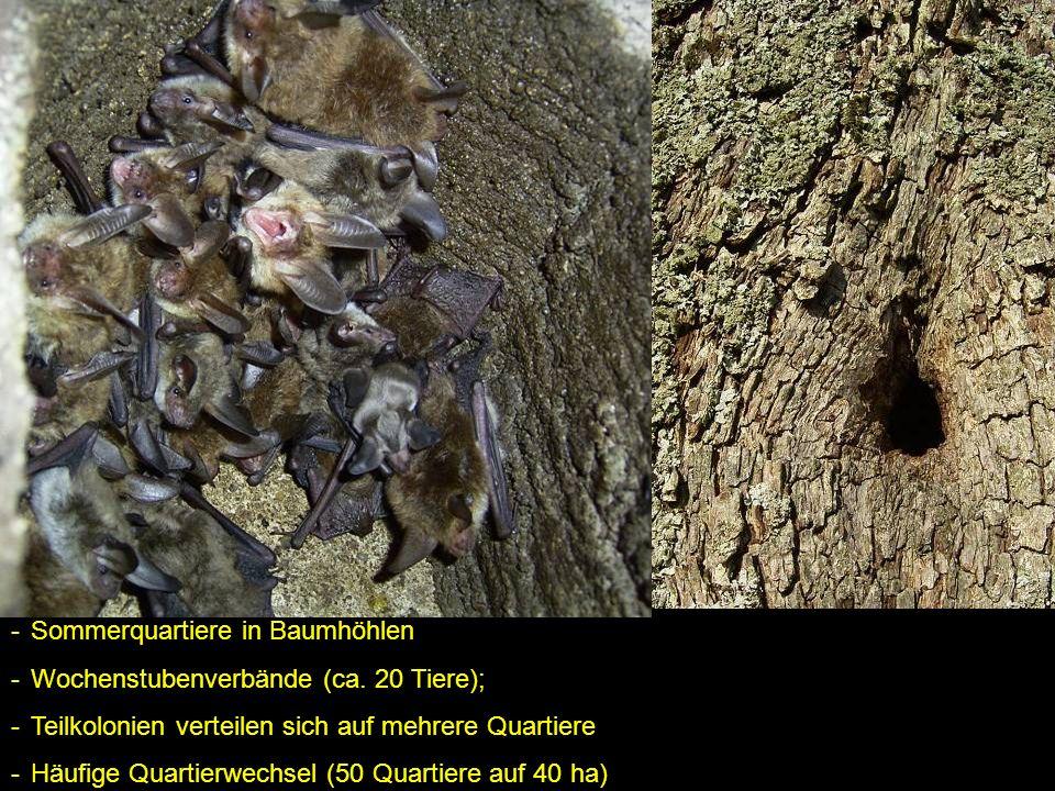 -Sommerquartiere in Baumhöhlen -Wochenstubenverbände (ca. 20 Tiere); -Teilkolonien verteilen sich auf mehrere Quartiere -Häufige Quartierwechsel (50 Q