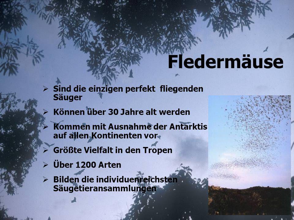 über 10 km weite Jagdflüge Jagdlebensraum: wichtigstes Jagdgebiet: Wälder mit offenem Waldboden (Bodenjagd, Laufkäfer) Warum ist das Mausohr eine Waldfledermaus ?