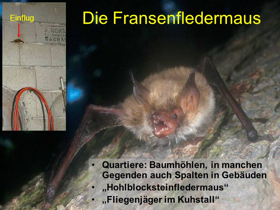 Die Fransenfledermaus Quartiere: Baumhöhlen, in manchen Gegenden auch Spalten in Gebäuden Hohlblocksteinfledermaus Fliegenjäger im Kuhstall Einflug