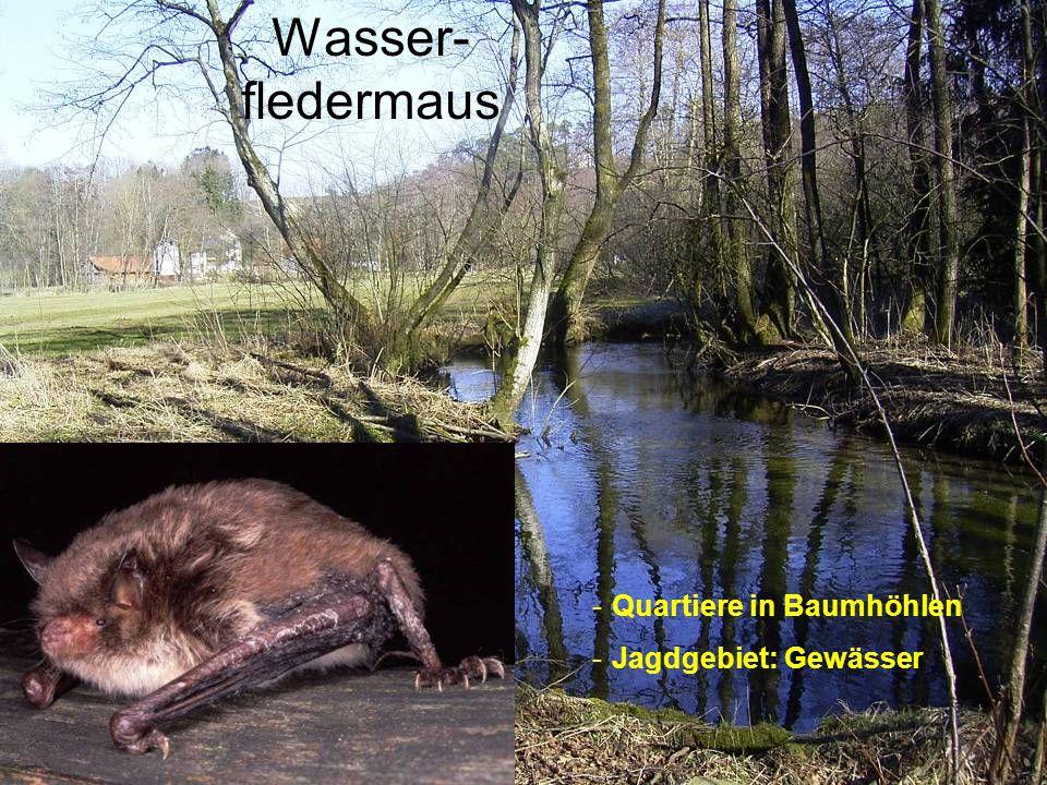 Wasser- fledermaus -Quartiere in Baumhöhlen -Jagdgebiet: Gewässer