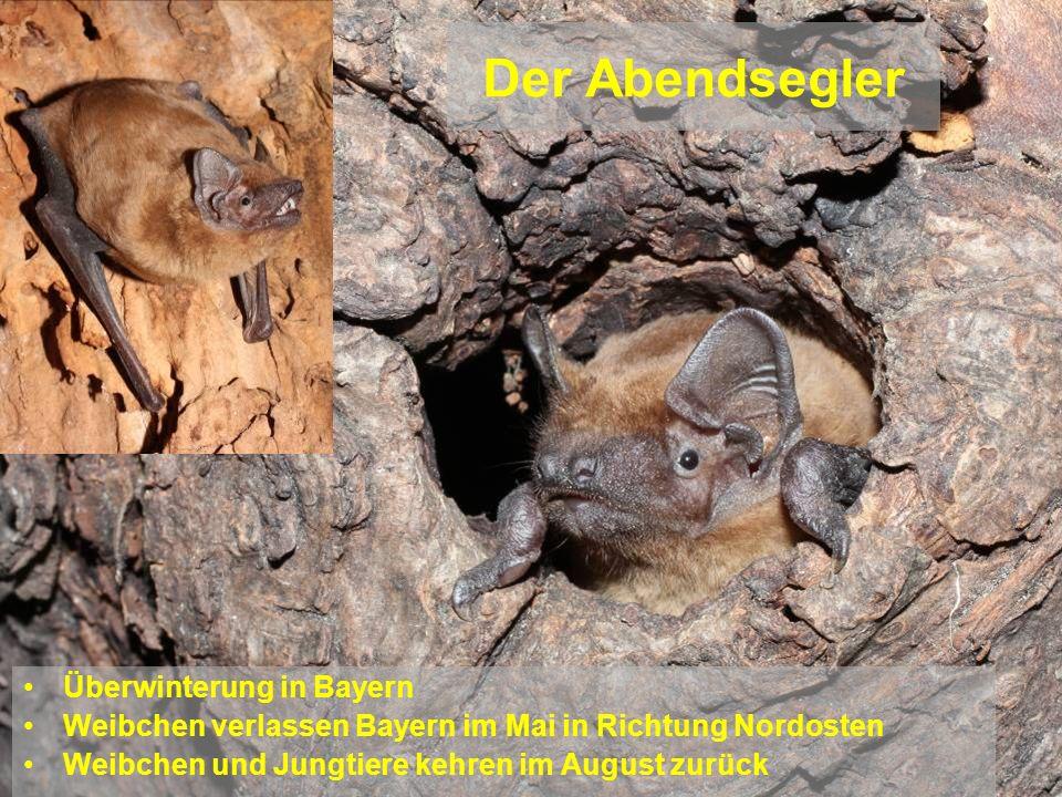 Der Abendsegler Überwinterung in Bayern Weibchen verlassen Bayern im Mai in Richtung Nordosten Weibchen und Jungtiere kehren im August zurück