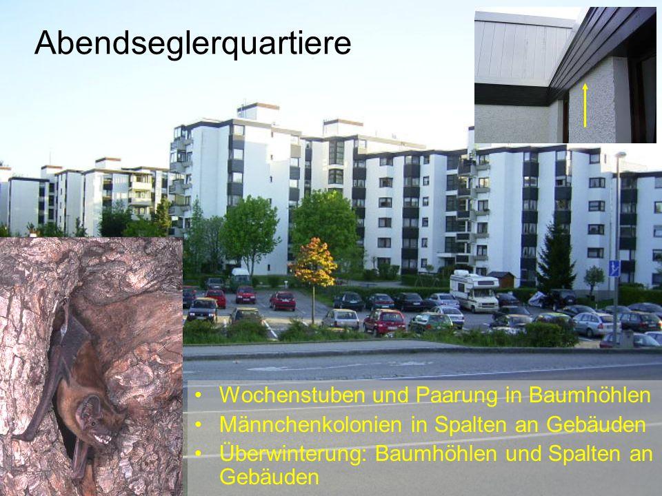Abendseglerquartiere Wochenstuben und Paarung in Baumhöhlen Männchenkolonien in Spalten an Gebäuden Überwinterung: Baumhöhlen und Spalten an Gebäuden