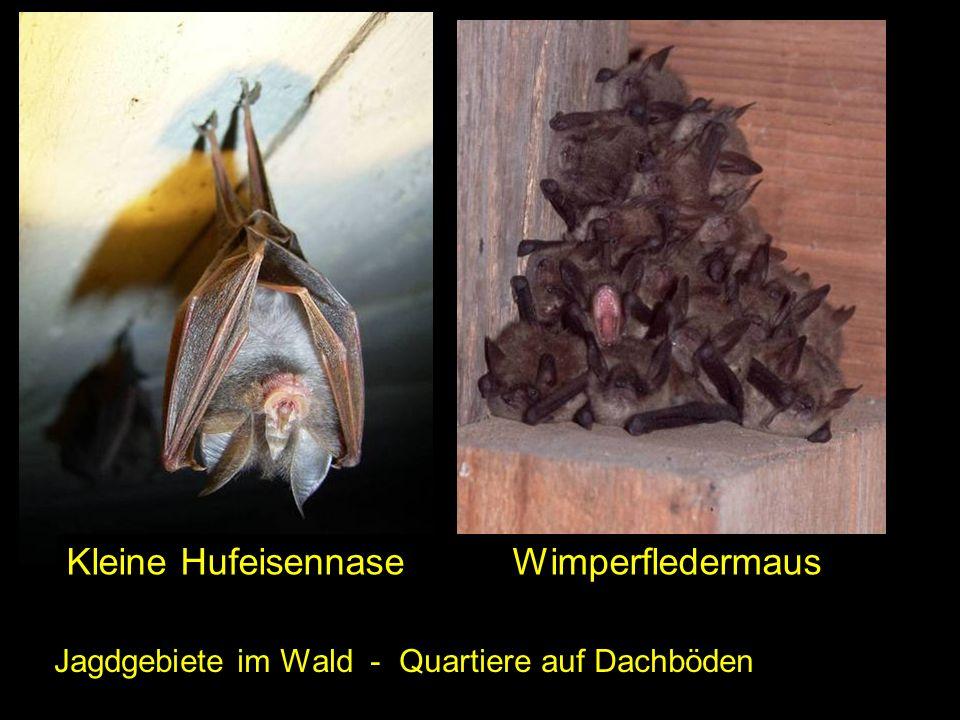 Jagdgebiete im Wald - Quartiere auf Dachböden Kleine Hufeisennase Wimperfledermaus