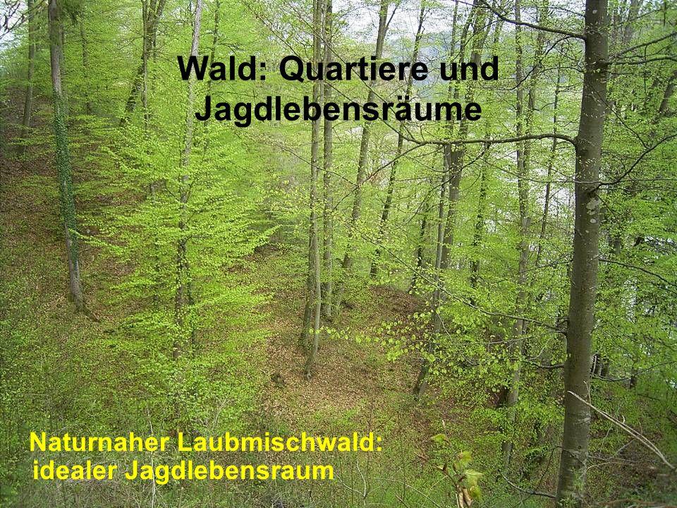 Wald: Quartiere und Jagdlebensräume Naturnaher Laubmischwald: idealer Jagdlebensraum
