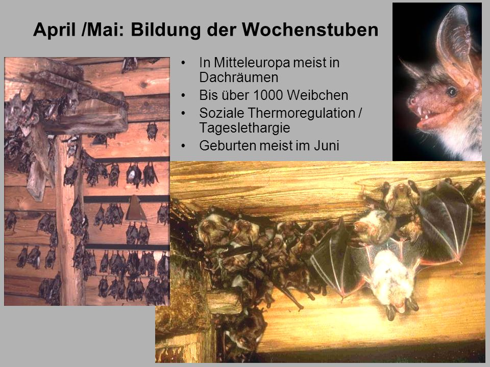 April /Mai: Bildung der Wochenstuben In Mitteleuropa meist in Dachräumen Bis über 1000 Weibchen Soziale Thermoregulation / Tageslethargie Geburten mei
