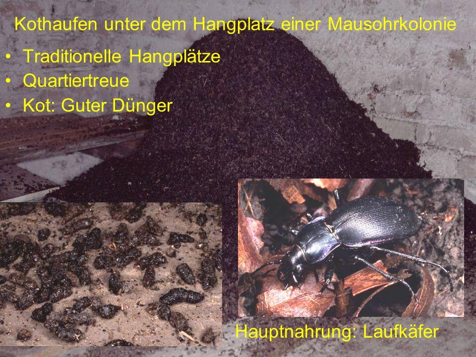 Jungtiere Meist nur ein Jungtier / Weibchen Bleiben nachts im Quartier Werden gesäugt, nicht mit Insekten gefüttert Mütter können Jungtiere transportieren Mit ca.
