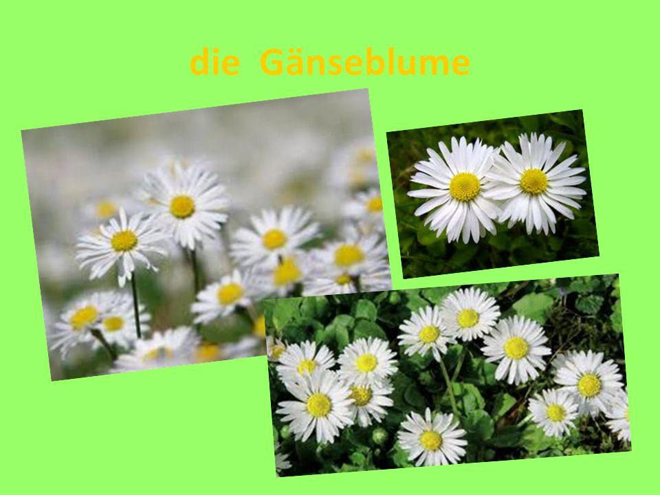die Gänseblume