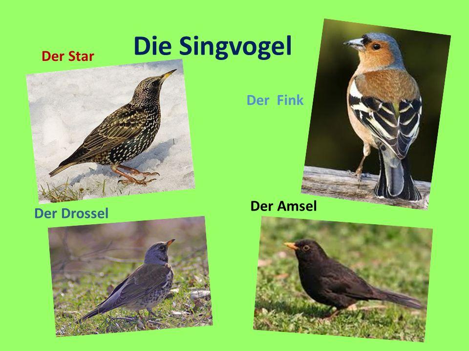 Der Fink Der Amsel Der Drossel Der Star Die Singvogel