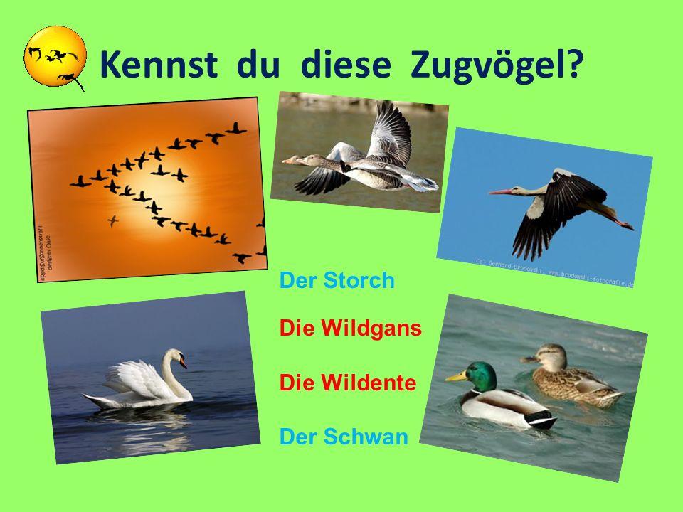 Kennst du diese Zugvögel? Der Storch Die Wildgans Die Wildente Der Schwan