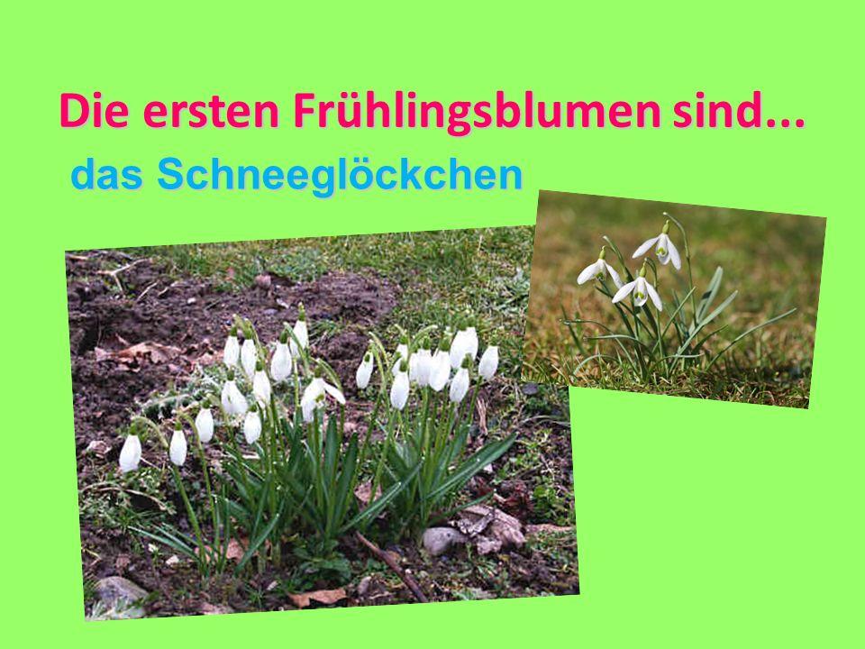 Die ersten Frühlingsblumen sind... das Schneeglöckchen