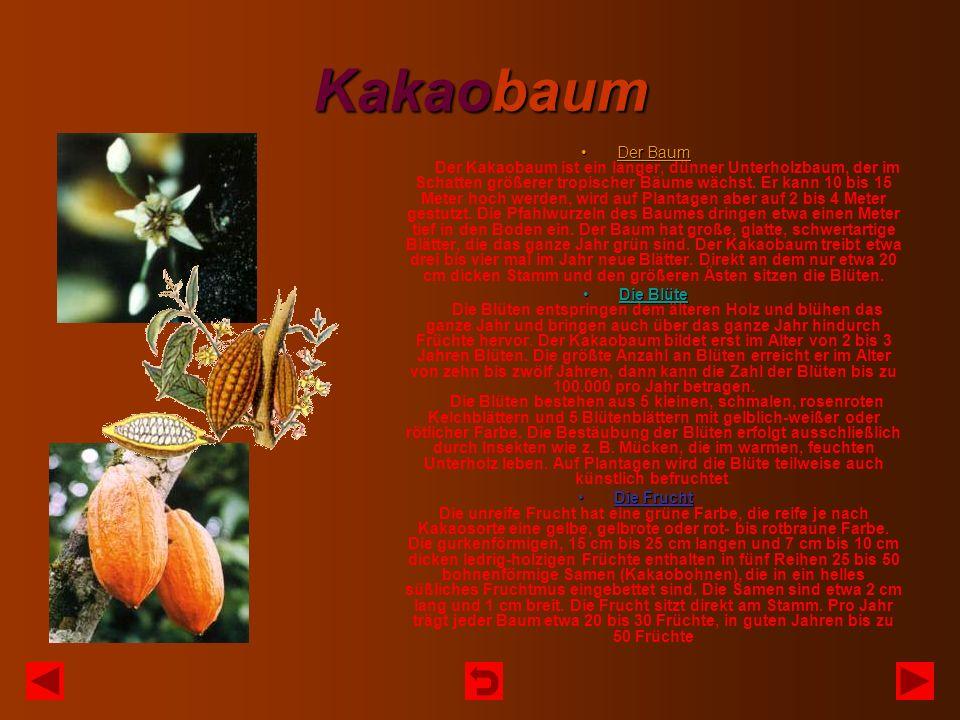 Kakaobaum Der BaumDer Baum Der Kakaobaum ist ein langer, dünner Unterholzbaum, der im Schatten größerer tropischer Bäume wächst. Er kann 10 bis 15 Met