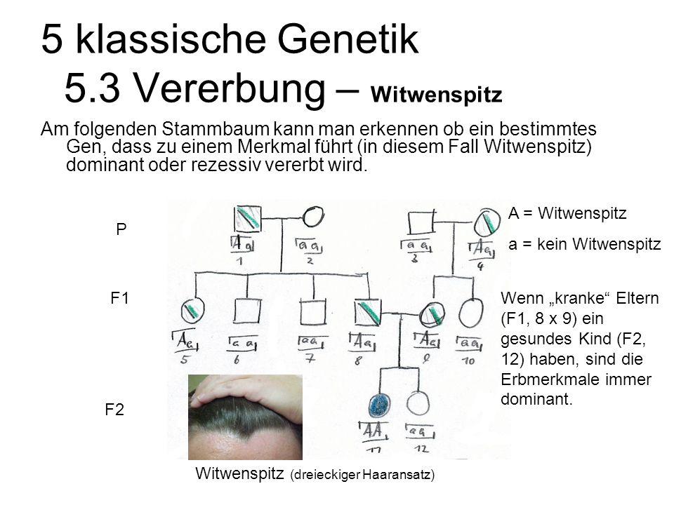 5 klassische Genetik 5.3 Vererbung – Witwenspitz Am folgenden Stammbaum kann man erkennen ob ein bestimmtes Gen, dass zu einem Merkmal führt (in diesem Fall Witwenspitz) dominant oder rezessiv vererbt wird.