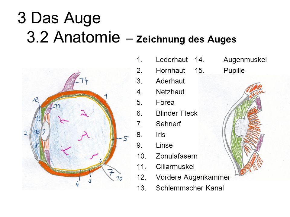 3 Das Auge 3.2 Anatomie – Zeichnung des Auges 1.Lederhaut14.Augenmuskel 2.Hornhaut15.Pupille 3.Aderhaut 4.Netzhaut 5.Forea 6.Blinder Fleck 7.Sehnerf 8.Iris 9.Linse 10.Zonulafasern 11.Ciliarmuskel 12.Vordere Augenkammer 13.Schlemmscher Kanal