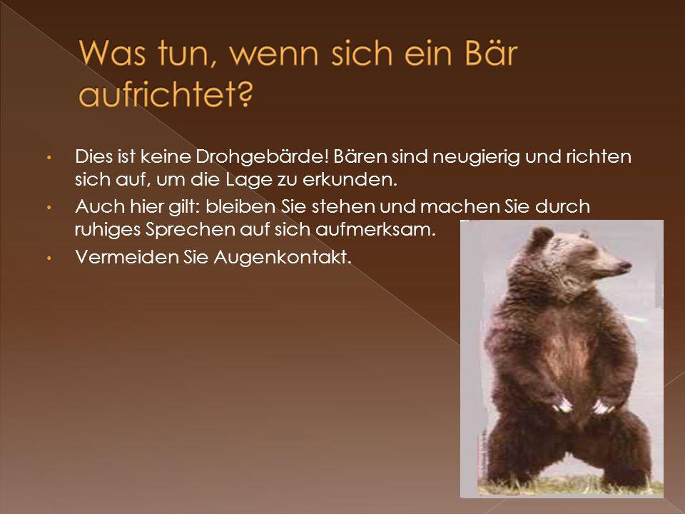 Dies ist keine Drohgebärde! Bären sind neugierig und richten sich auf, um die Lage zu erkunden. Auch hier gilt: bleiben Sie stehen und machen Sie durc