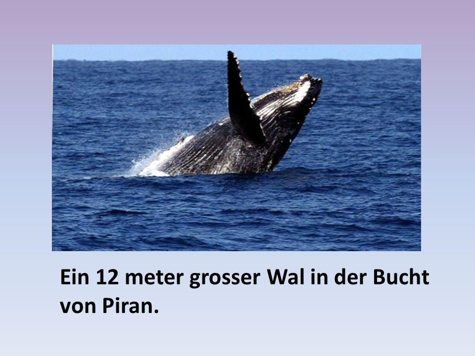 Ein 12 meter grosser Wal in der Bucht von Piran.